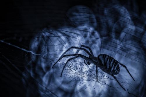 Tijgerspin, spin, tigris aranea, wespenspin, macrophotography, macro, close-up