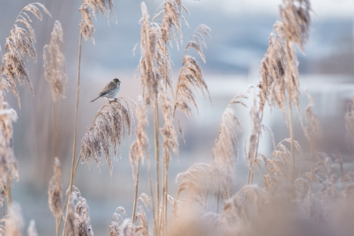 Rietgors, vogel, riet