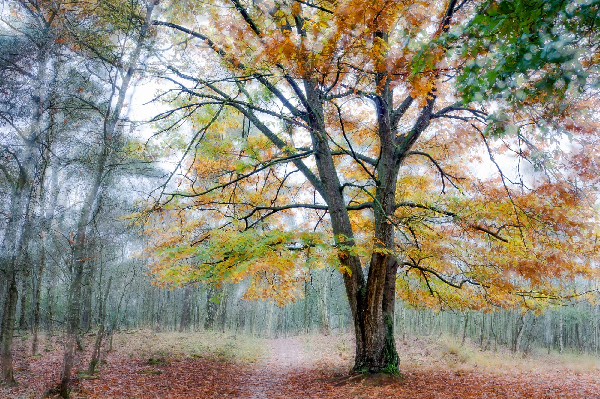Eik, boom, geel, herfst, groen, maashorst, meervoudige belichting