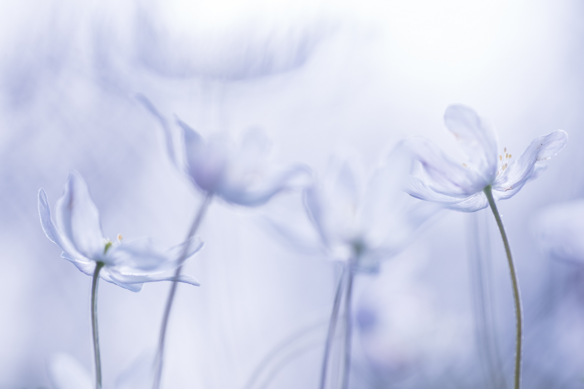 Anemoon, voorjaar, wit, blauw
