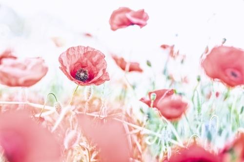 Klaproos, rood, bloem