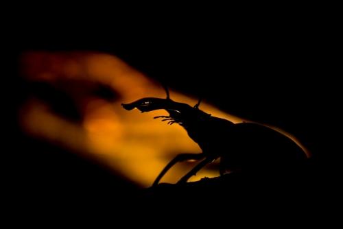 Insect, vliegend hert, flying deer, volantem venatione cervorum, macrophotography, macro, close-up