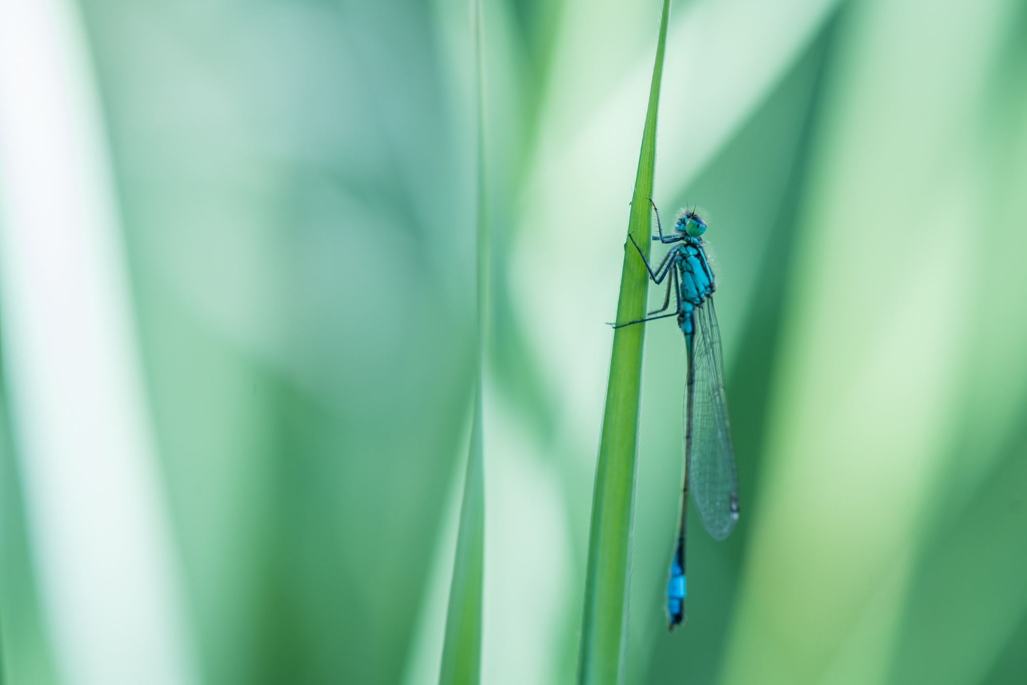 Libelle, insect, macrofotografie, macro, close-up, blauw, groen